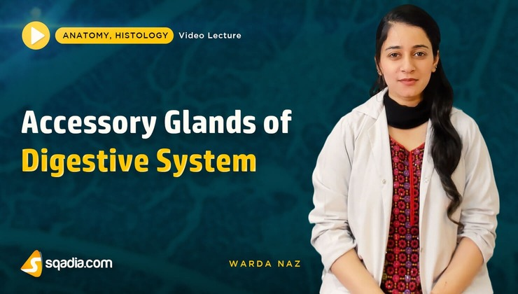 Accessory Glands of Digestive System