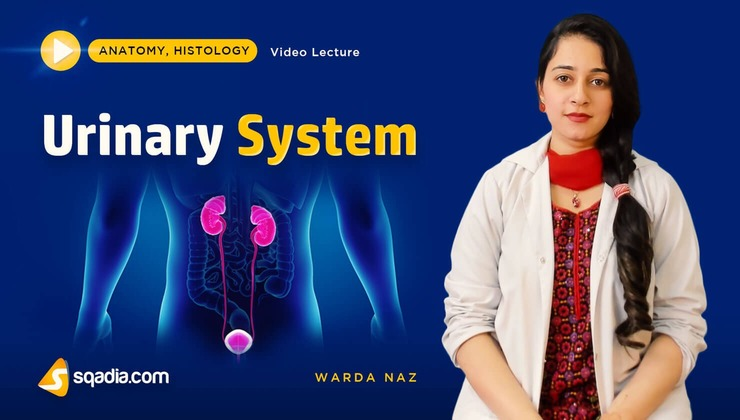 Urinary System (Histology)