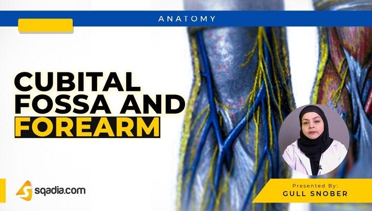 Cubital Fossa and Forearm