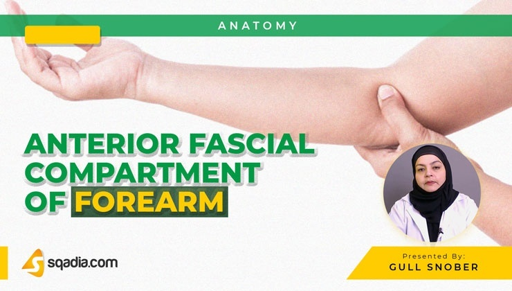 Anterior Fascial Compartment of Forearm