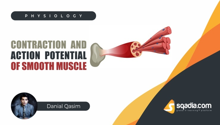Contraction and Action Potential of Smooth Muscle