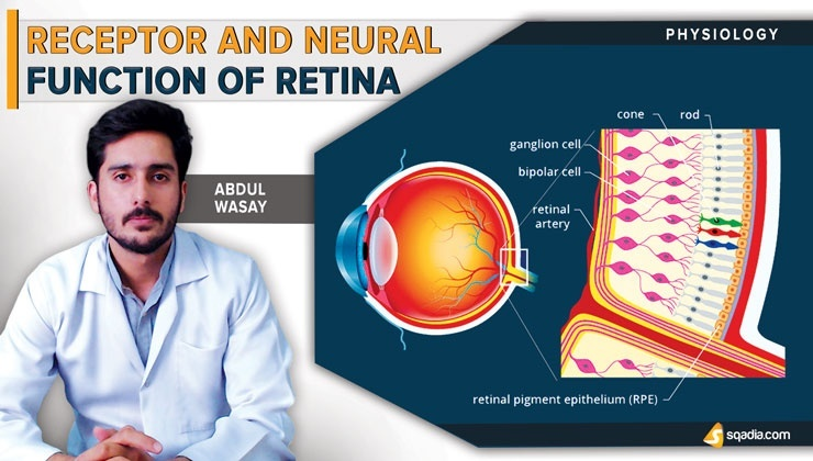 Receptor and Neural Function of the Retina
