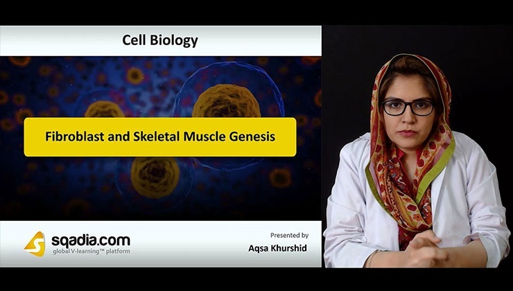 Fibroblast and Skeletal Muscle Genesis