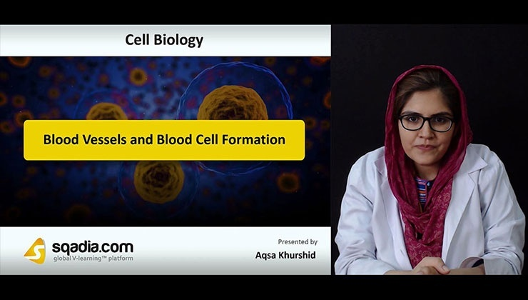 Blood Vessels and Blood Cell Formation