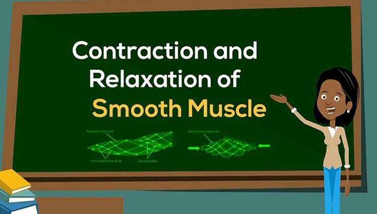 Contraction and Relaxation of Smooth Muscle