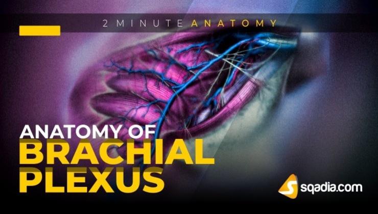 2-Minute Anatomy: Anatomy of Brachial Plexus