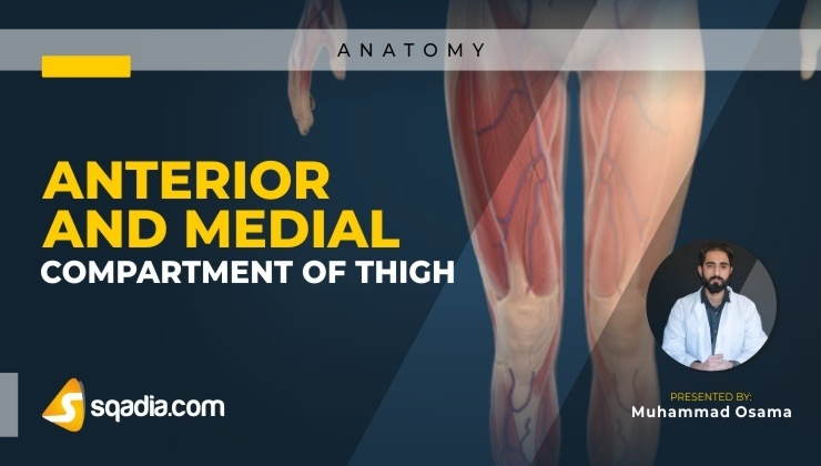 Anterior and Medial Compartment of Thigh