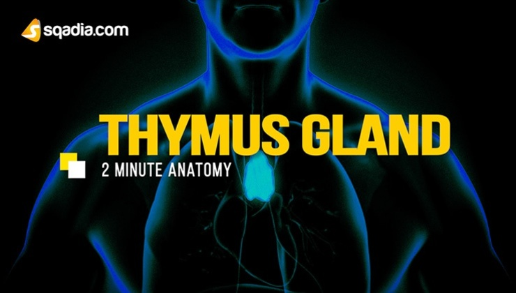 2-Minute Anatomy: Thymus Gland