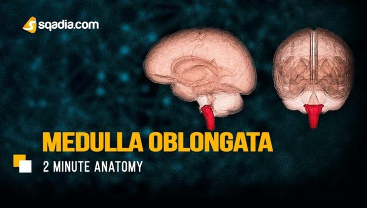 2-Minute Anatomy: Medulla Oblongata