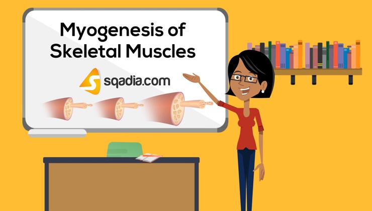 Myogenesis of Skeletal Muscles