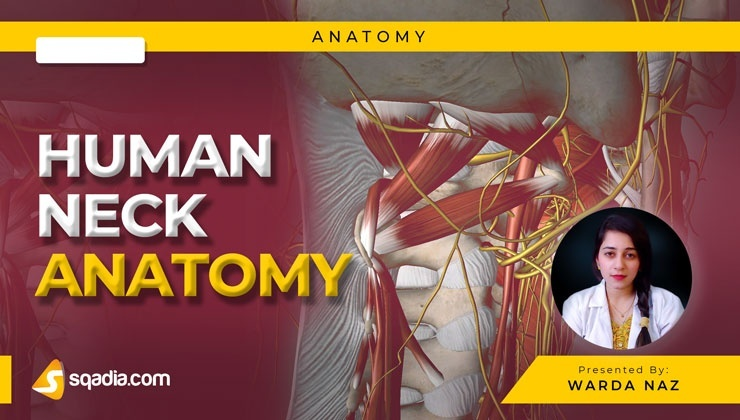 Human Neck Anatomy