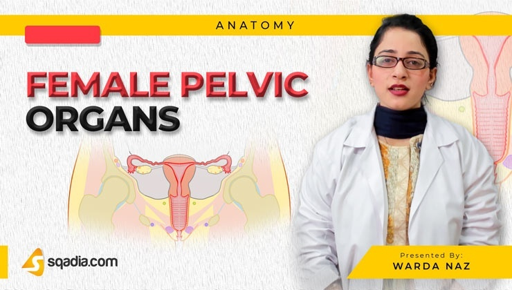 Female Pelvic Organs