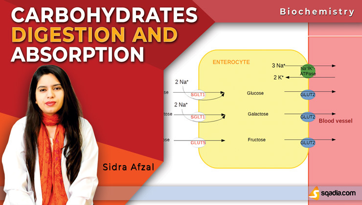 Carbohydrates Digestion and Absorption