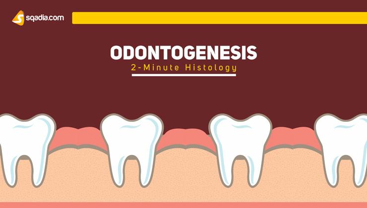 2-Minute Histology: Odontogenesis