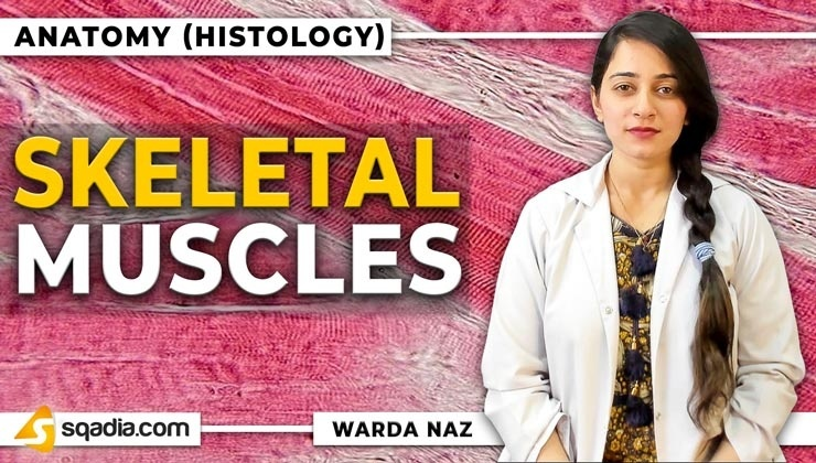 Skeletal Muscles   V-learning MD Histology Lecture   sqadia com