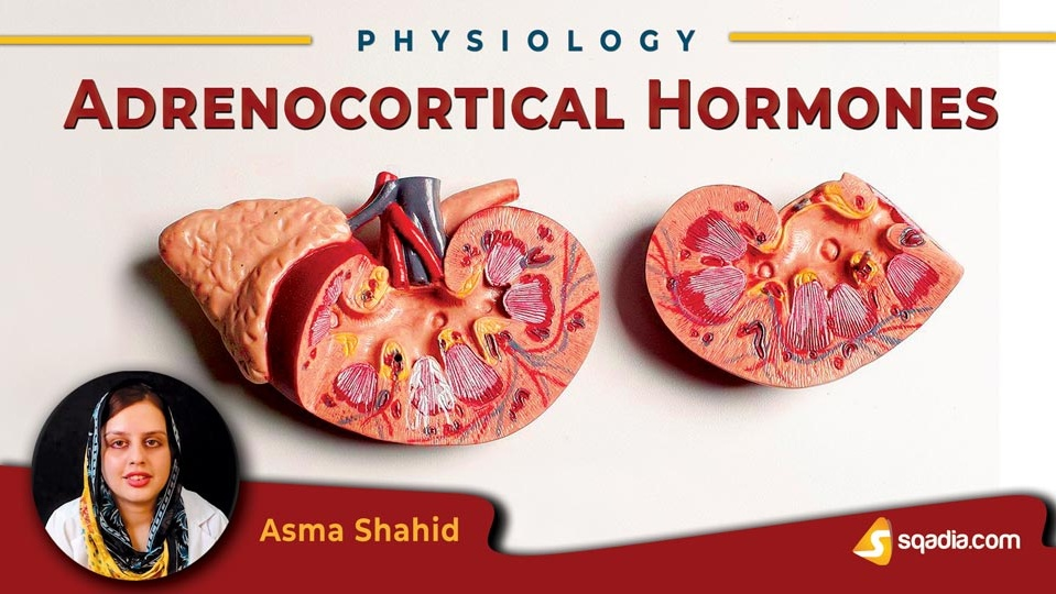 Data 2fimages 2f7vy4puzisscmkoimy338 180831 s0 shahid asma adrenocortical hormones intro
