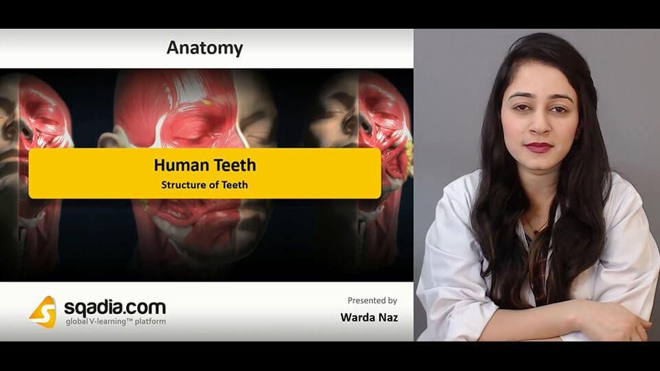 Data 2fimages 2fb4u3q97qtuayh8ngl8dp 190209 s1 naz warda structure of teeth