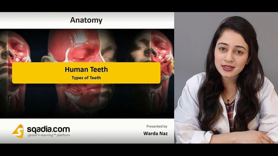 Data 2fimages 2f7vkr1mvistkyjnui679p 190209 s2 naz warda types of teeth